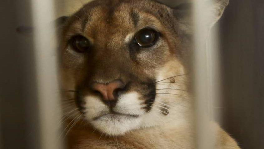 A 100–pound male mountain lion, one of about 20 in the Santa Ana Mountains, rests in a cage in 2012. (Photo credit: Mark Boster / Los Angeles Times)