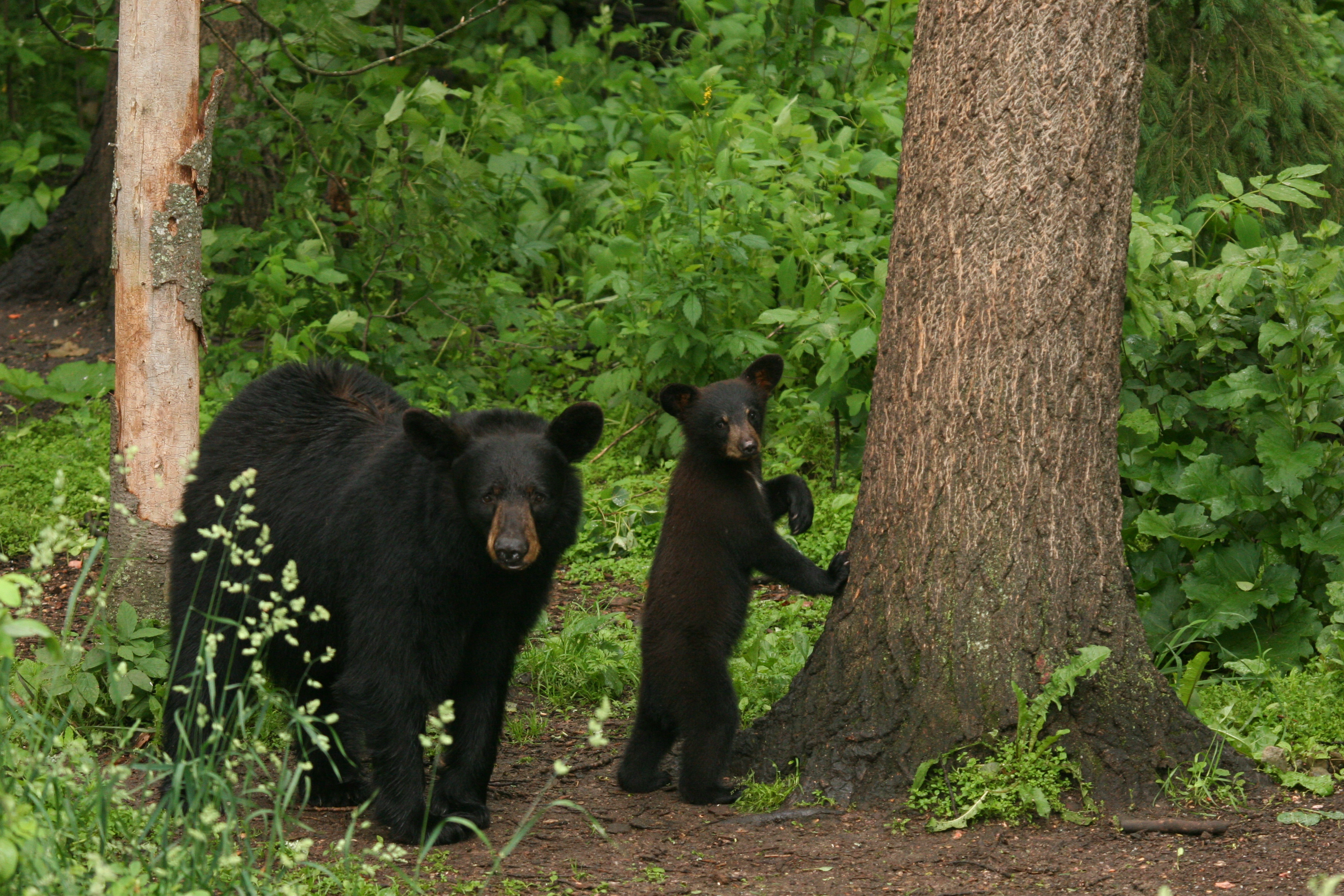 Mother and Child Black Bear