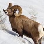 Bighorn Sheep in snow