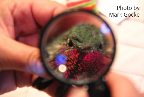 hummingbird under magnifying glass