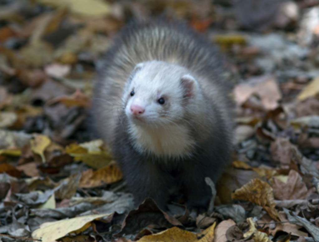 Photo credit and copyright: Robert Church, BCPhoto Photo caption: A pet domestic ferret (Mustela putorius furo)