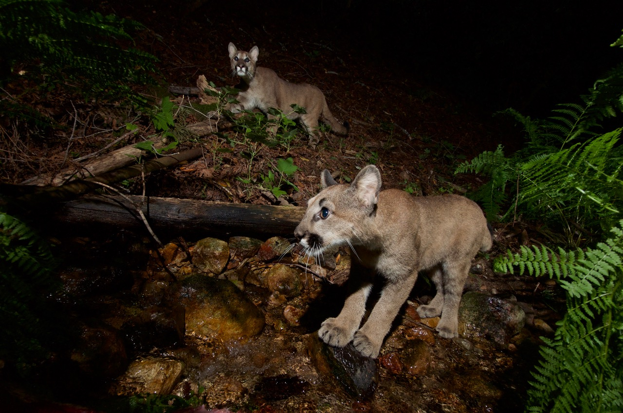 Mountain Lions: Quinton Martins/Audubon Canyon Ranch