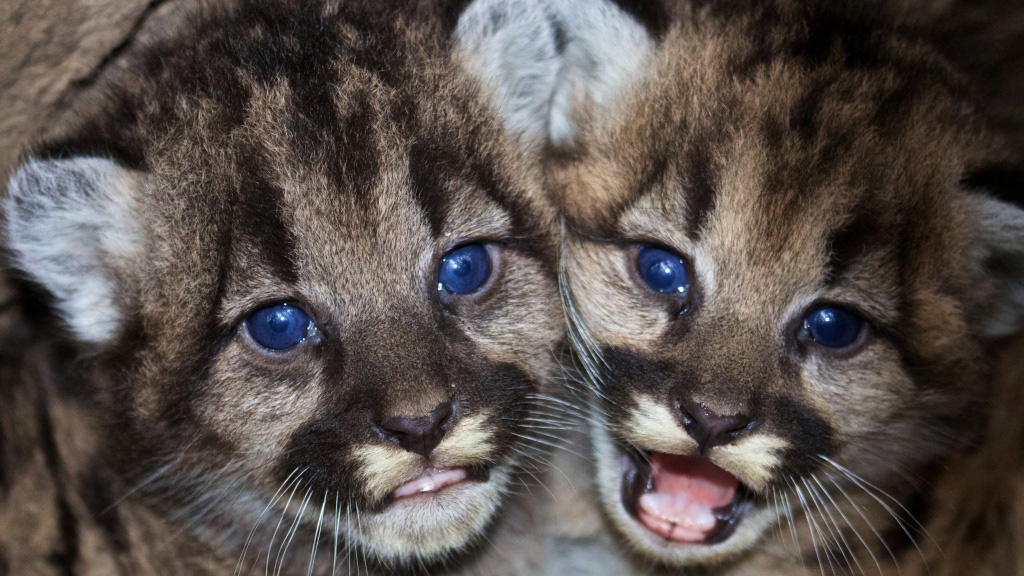 Kitten siblings P-46 and P-47 are seen at their den in the western Santa Monica Mountains in this photo provided by the National Park Service. National Park Service