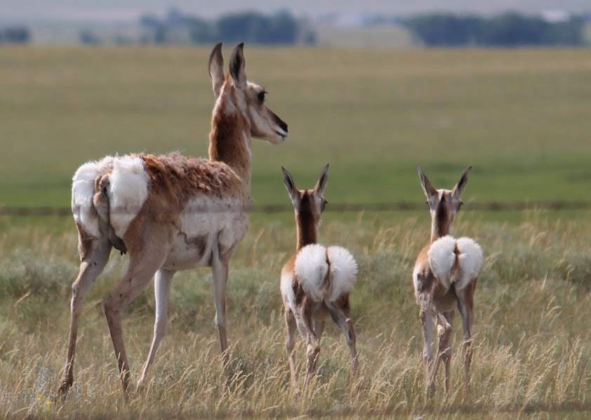pronghorn next to fence