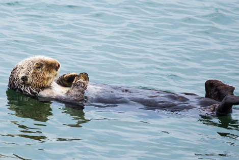 sea otter floating in water