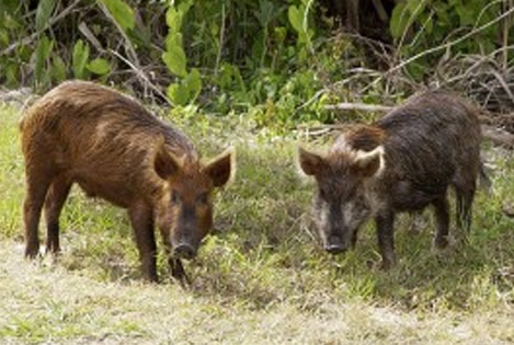 feral pigs in grass
