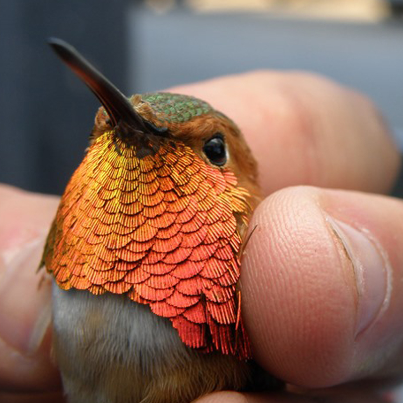 Hummingbird being gently held
