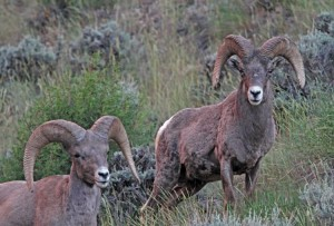 Bighorn sheep; Photo by Ron Wolf
