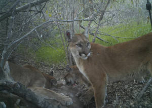 Mountain Lion; Photo credit: Winston Vickers
