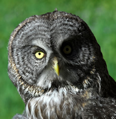 Great Gray Owl; photo credit Joe Medley