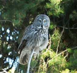 Great Gray Owl perched on tree