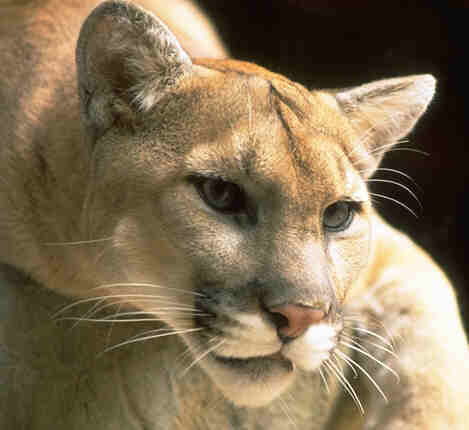 Mountain lion - Photo Credit CDFG