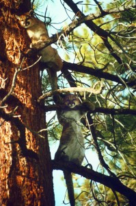 Mountain Lions in tree - Photo credit Walter Boyce