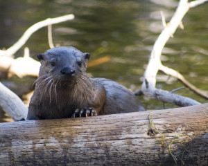 River Otter, photo by Nate Bowersock
