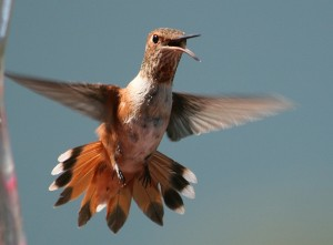 Rufous Hummingbird; photo by VickiMiller
