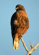 hawk-red-tailed-2 copy