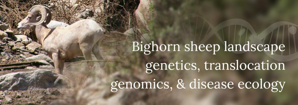 Bighorn sheep landscape genetics, translocation genomics, and disease ecology