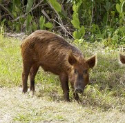 Feral Pigs in grassy field