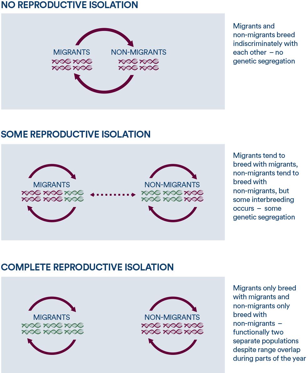 These three generalized scenarios represent gene flow (interbreeding, genetic interchange) caused by different levels of reproductive isolation among migration strategies.
