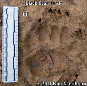 Perfect black bear track in mud. Ursus americanus