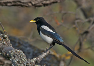 Yellow-billed Magpie perched on a branch