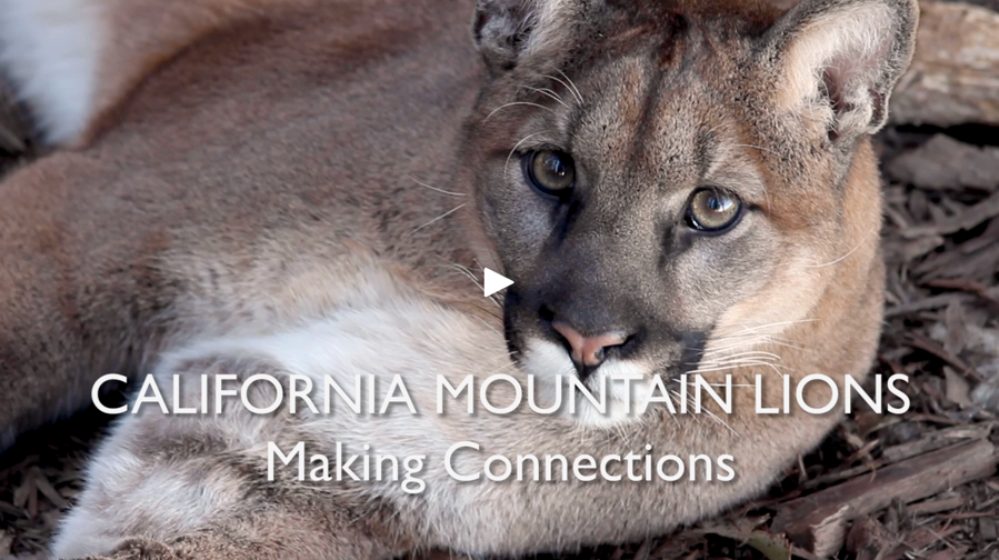 Mountain Lion video