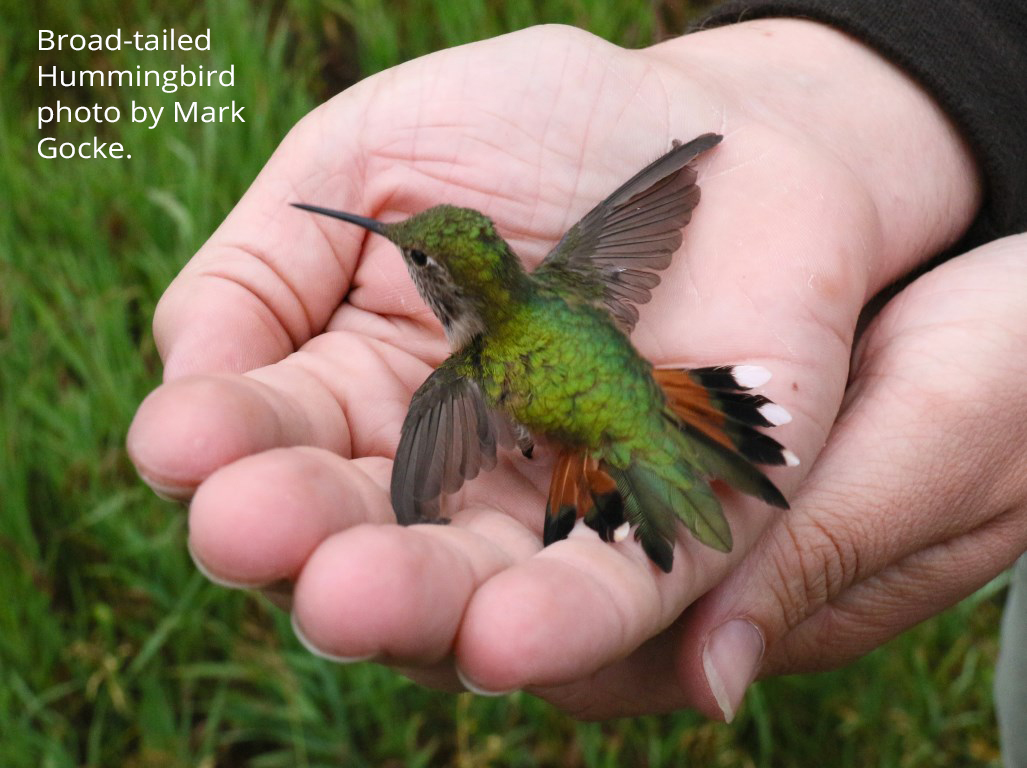 Broad-tailed Hummingbird photo by Mark Gocke.