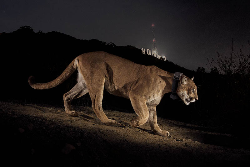 A remote camera captures a radio collared cougar in Griffith Park.