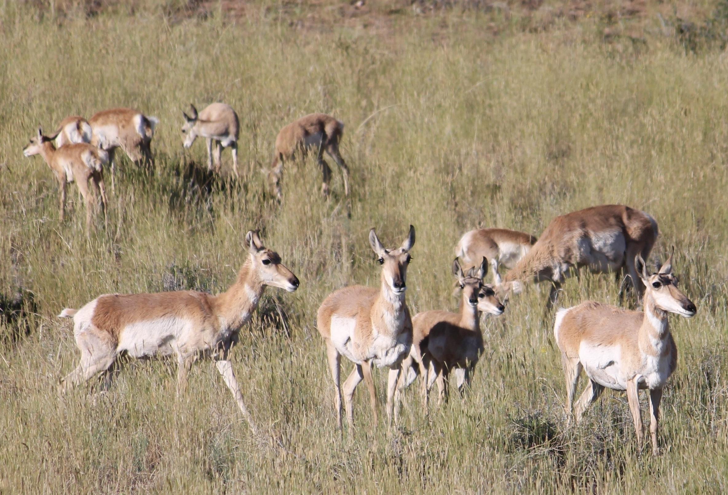 Pronghorn in field