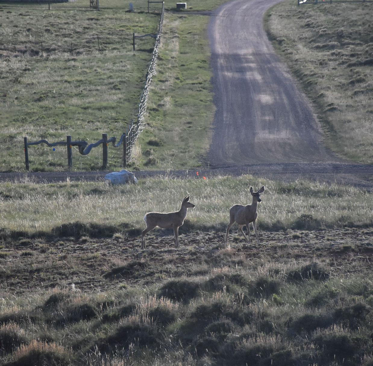 mule deer in front of road